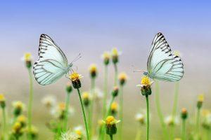 Frühlingswiese mit Schmetterlingen
